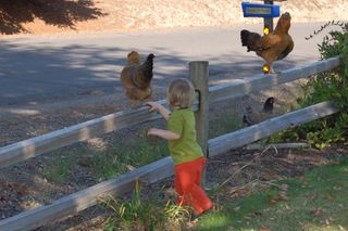 Caboose and chickens waiting