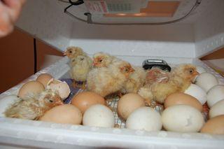 Benji's chicks