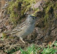 Golden_crowned_sparrow