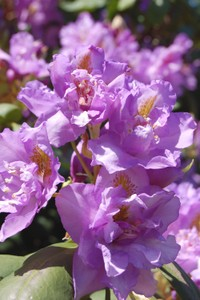 Purple_rhodie_2