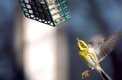 Flying_warbler