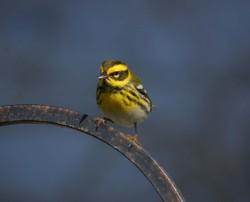 Warbler_cropped